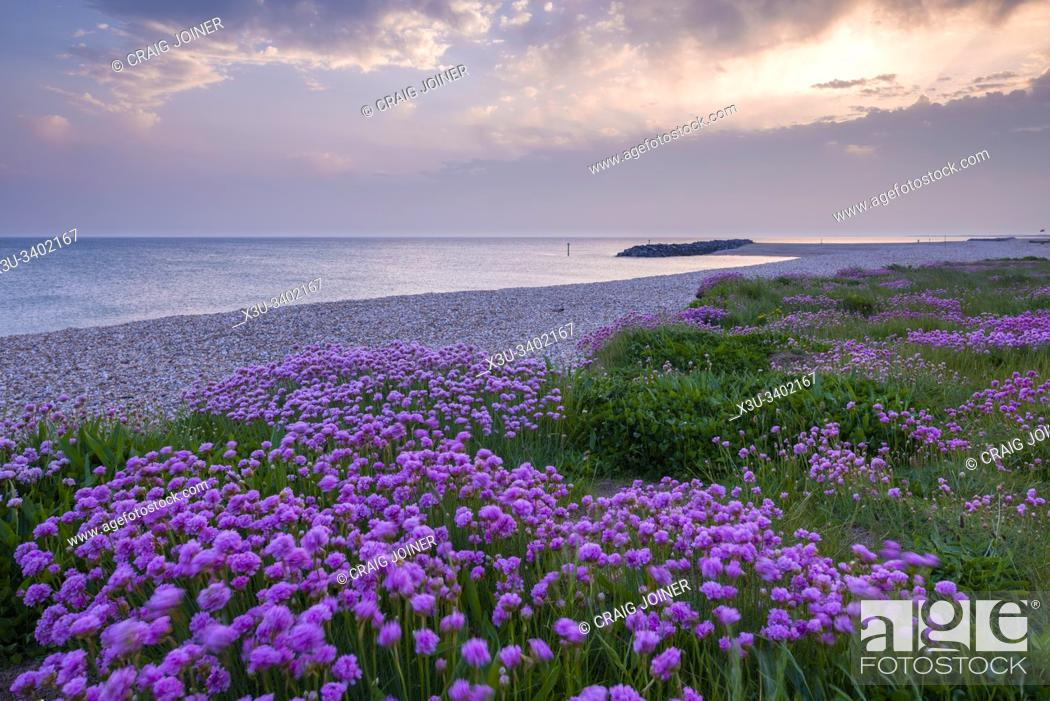 Stock Photo: Thrift (Armeria maritima) growing along the beach in spring at Selsey, West Sussex, England.