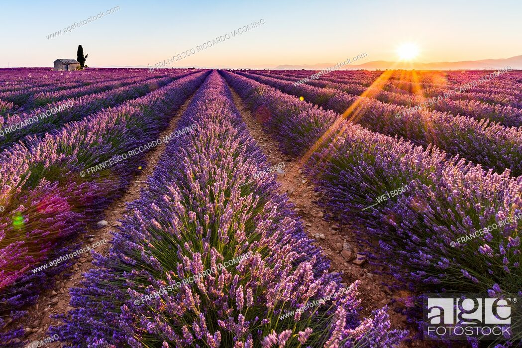 Stock Photo: Provence, Valensole Plateau, France, Europe. Lonely farmhouse and cypress tree in a Lavender field in bloom, sunrise with sunburst.