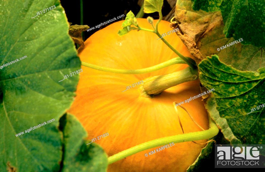 Stock Photo: Mature orange pumpkin on vine. Illinois. USA.