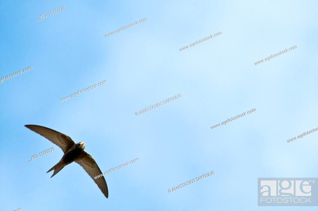 Stock Photo: Common Swift - Apus apus, Crete.