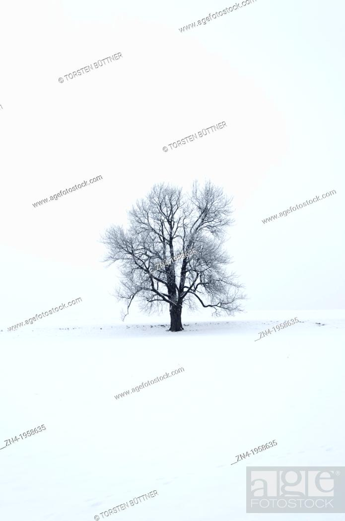 Stock Photo: Tilia Tree on a Snow Field. Schönau. Austria.