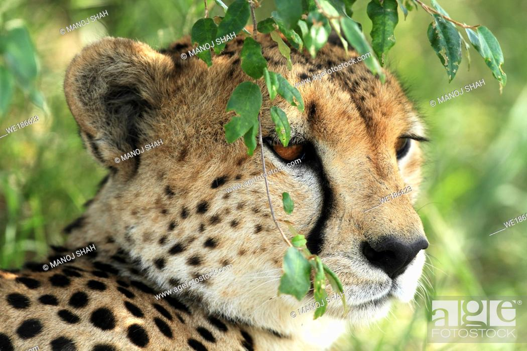 Stock Photo: Resting under bushes this cheetah male also keeps a lookout for prey.