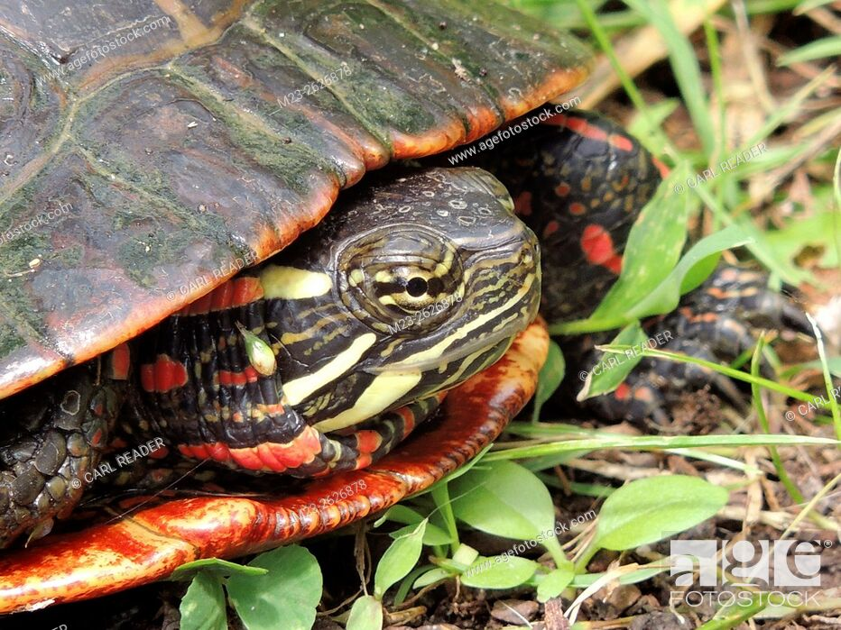 Stock Photo: A turtle close-up is partly inside his shell, Pennsylvania, USA.