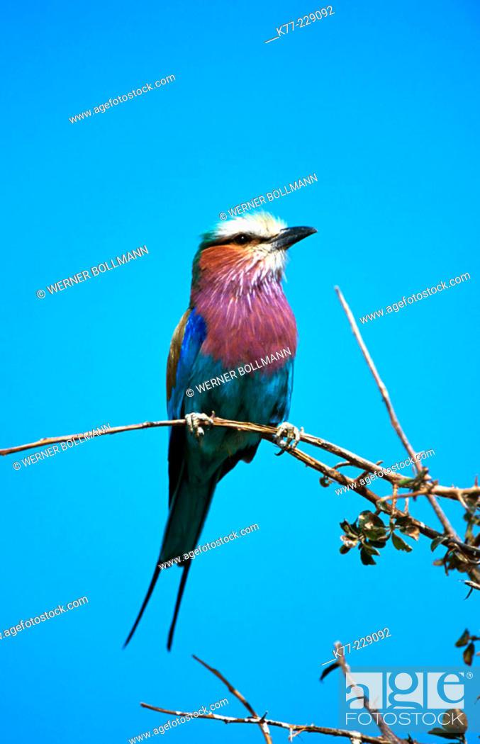 Stock Photo: Lilac-breasted Roller (Coracias caudata). Etosha. Namibia.
