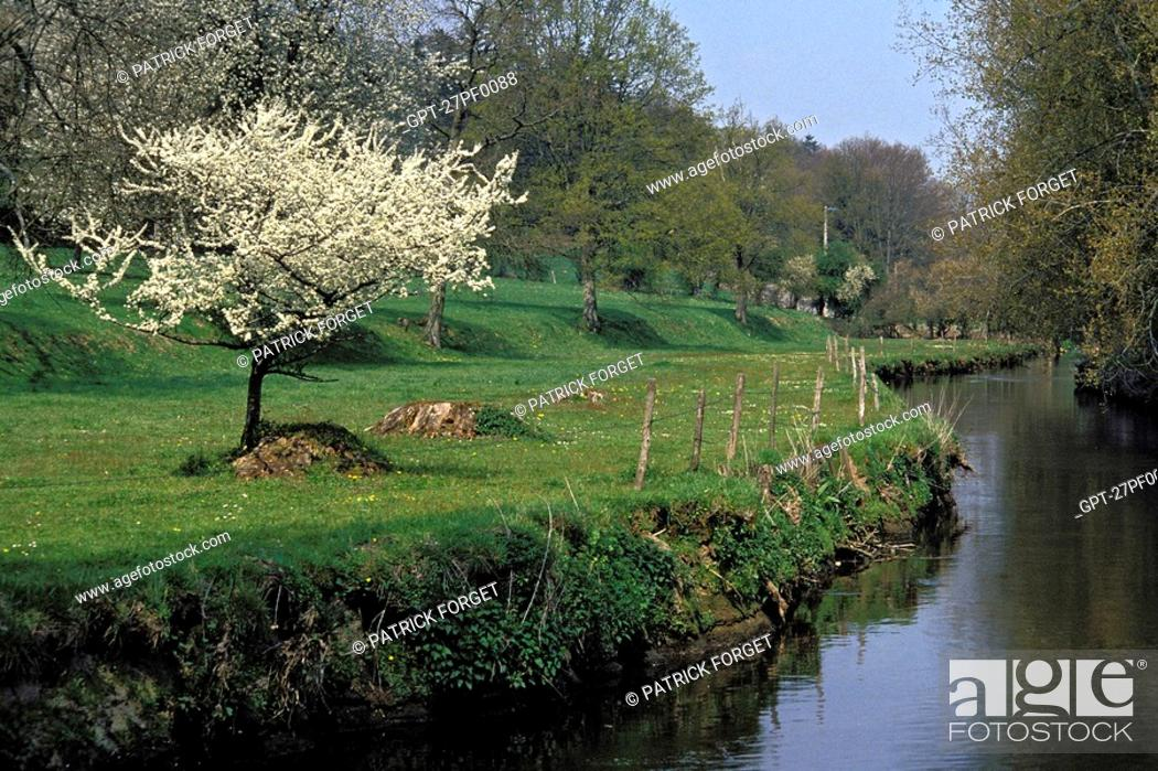 Imagen: FLOWERING APPLE TREE ON THE BANKS OF THE RISLE, RUGLES, EURE 27, NORMANDY, FRANCE.