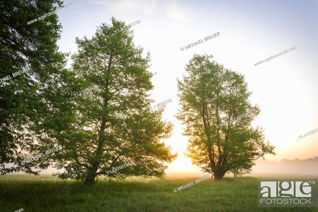 Stock Photo: Trees (Black alder) and meadow in morning mist at sunrise, Hesse, Germany, Europe.