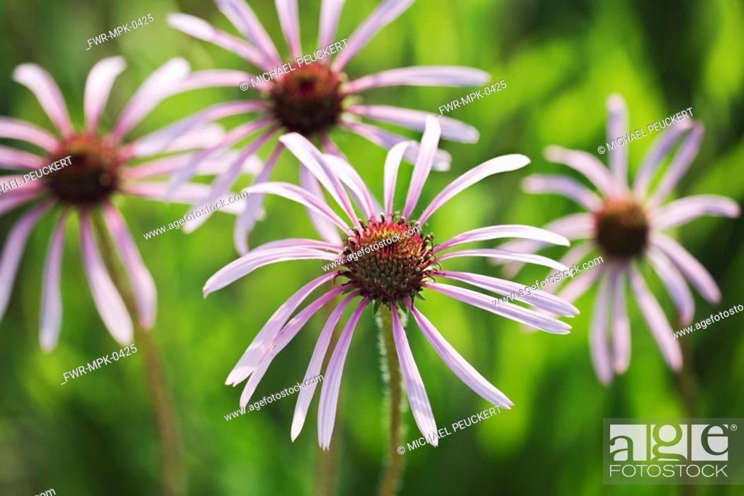 Stock Photo: Echinacea pallida, Echinacea / Purple coneflower.