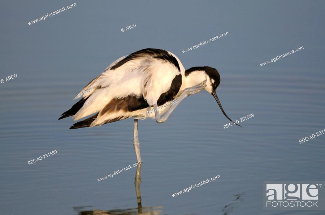 Stock Photo: Avocet, Texel, Netherlands, Recurvirostra avosetta, side.
