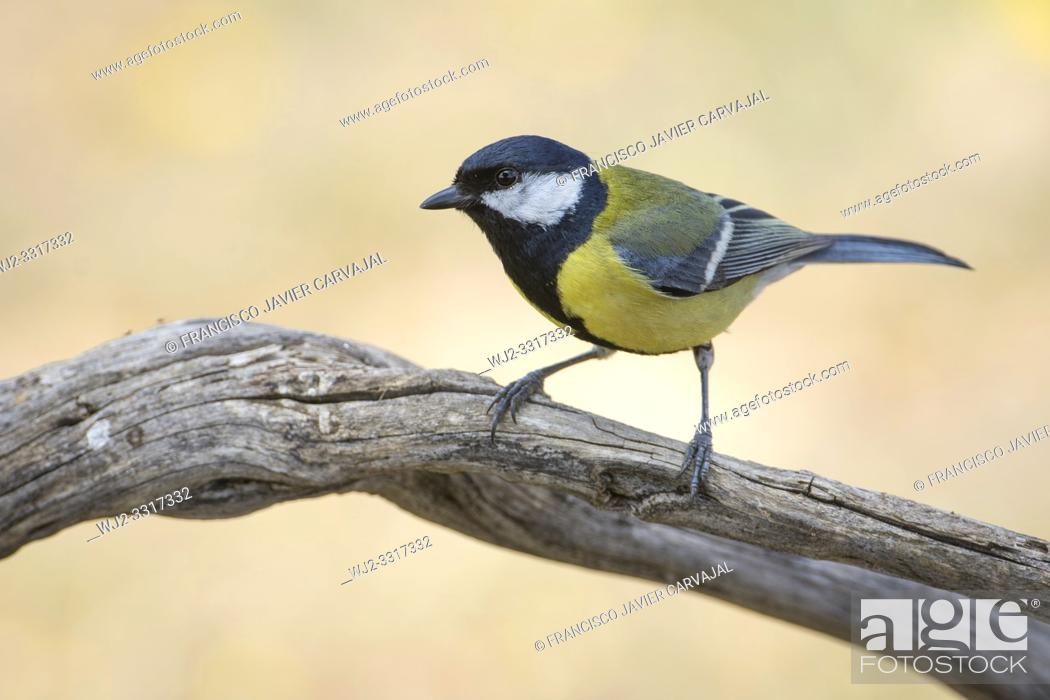Stock Photo: Great tit (Parus major) on a branch at dawn, Extremadura, Spain.