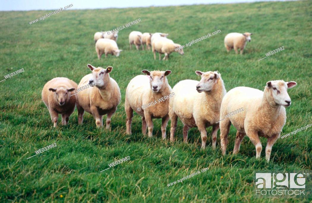 Stock Photo: Sheep. On a dyke, Wadden Sea. North Sea. Westerhever. Schleswig-Holstein. Germany.