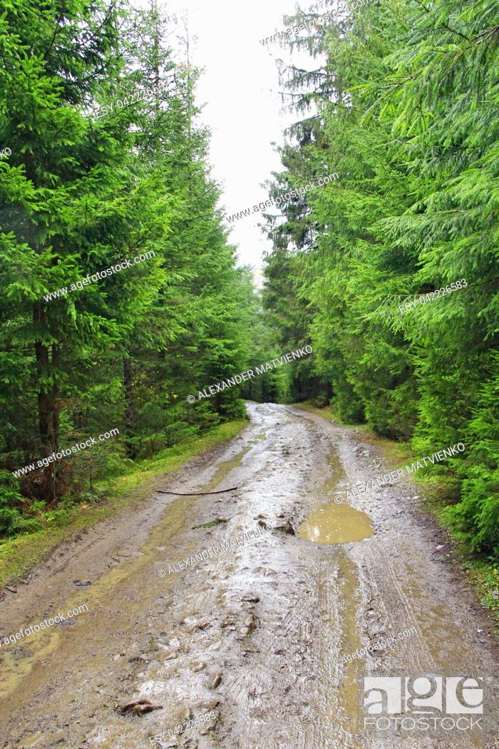 Stock Photo: rain in forest. Road with puddles and mud in wood during rain. Road between spruces during rain in forest.