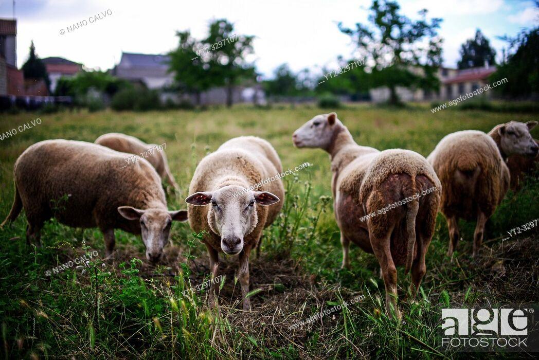 Stock Photo: Sheep in field, Galicia, Spain.