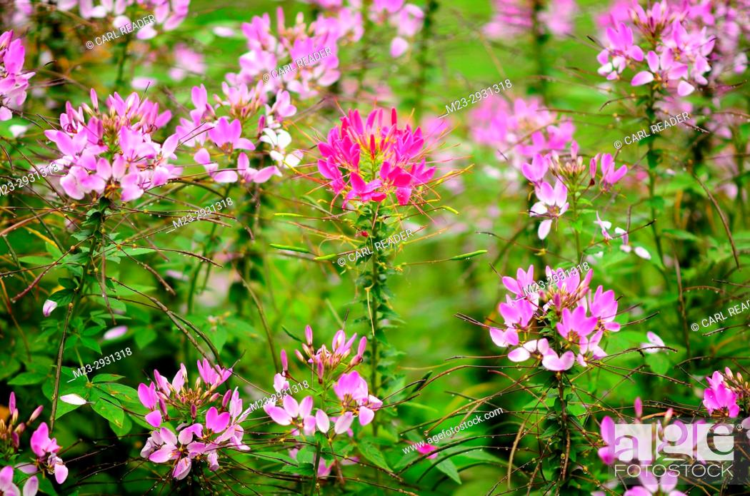 Imagen: An individual red cleome is not lost in the crowd, Pennsylvania, USA.