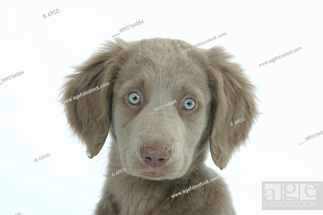 Stock Photo: Long-haired, Weimaraner, puppy, 10, weeks.