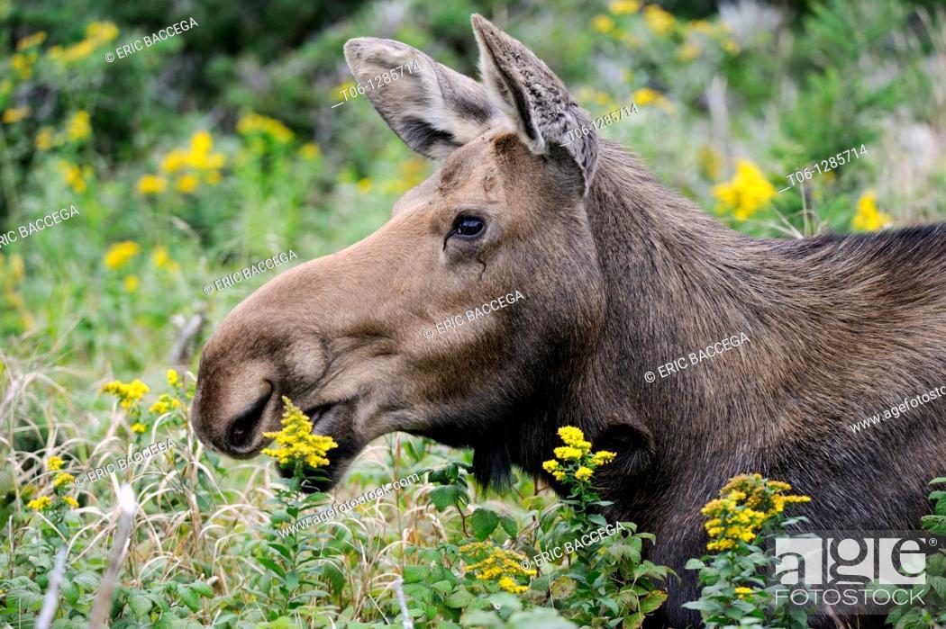 Stock Photo: Moose cow browsing leaves  Alces alces  Cap Breton Highlands National Park, Nova Scotia, Canada.