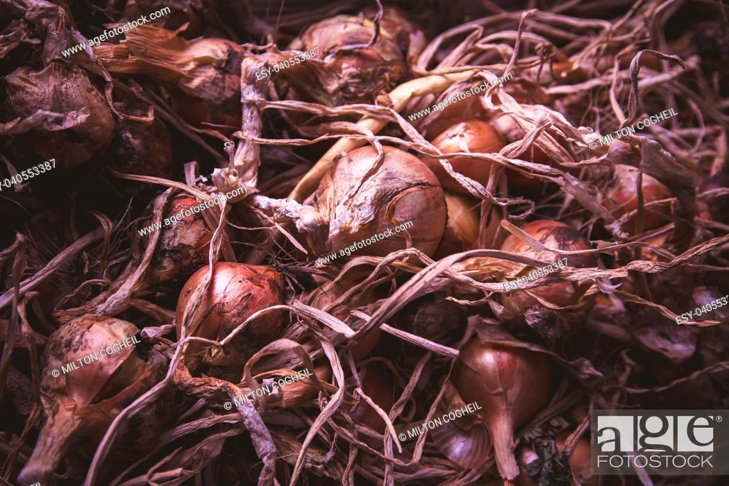 Stock Photo: Onion (Allium) crop, harvested and drying.
