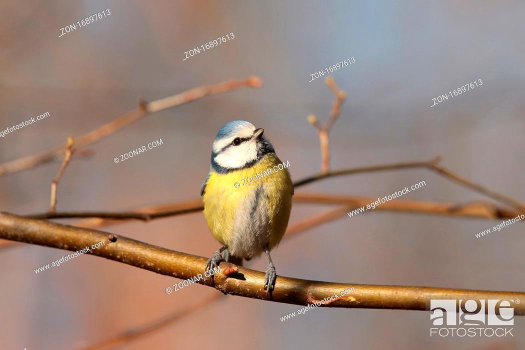 Stock Photo: Blue tit (Parus caeruleus) on a twig.