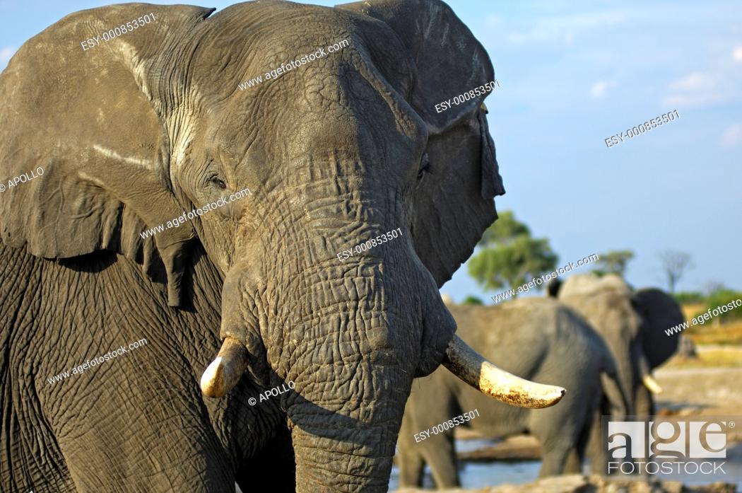 Stock Photo: African Elephant Loxodonta africana, Portrait, Savuti National Park, Botswana.