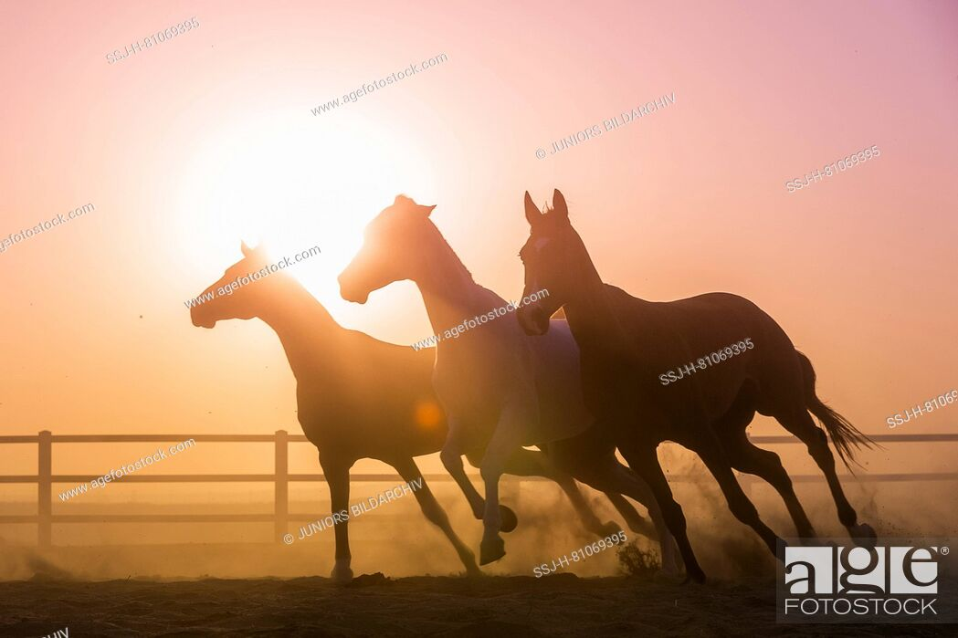 Stock Photo: Arabian Horese. Three horses at sunset, galloping in a paddock. Abu Dhabi.