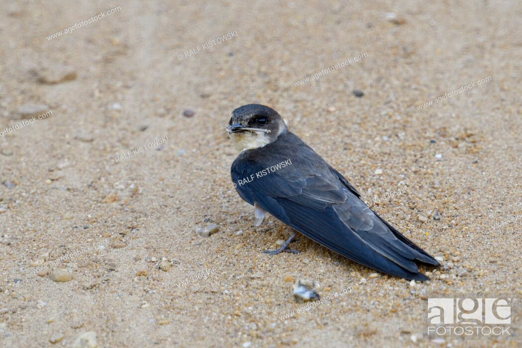 Stock Photo: Sand Martin / Bank Swallow / Uferschwalbe ( Riparia riparia) sitting on the ground, collecting, carrying nesting material in its beak, wildlife, Europe.