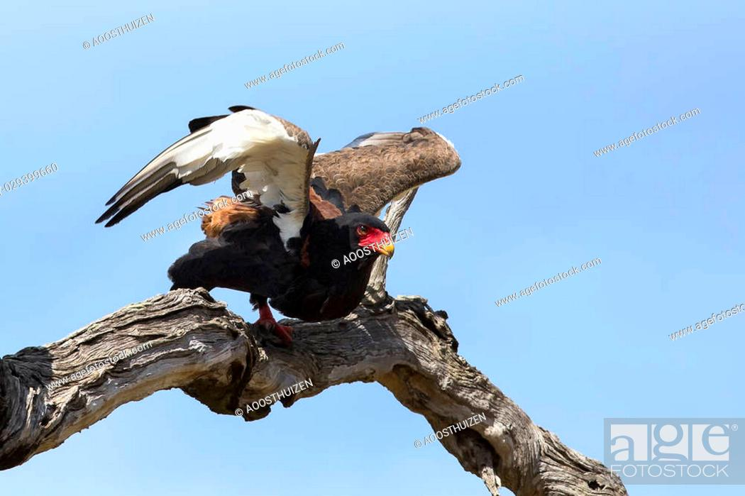 Photo de stock: Mature bateleur take off from a tree with blue sky in background.