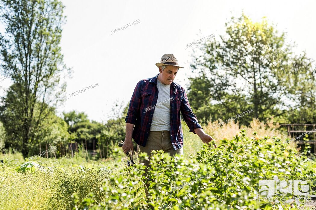 Stock Photo: Senior man in garden examining plants.