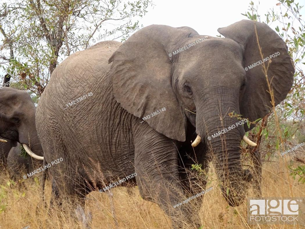 Stock Photo: African Elephant Kruger National Park South Africa.