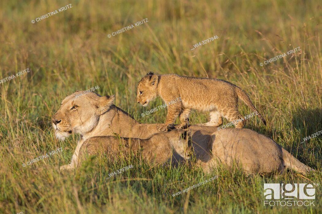 Imagen: African Lion (Panthera leo) female with cubs, Maasai Mara National Reserve, Kenya, Africa.