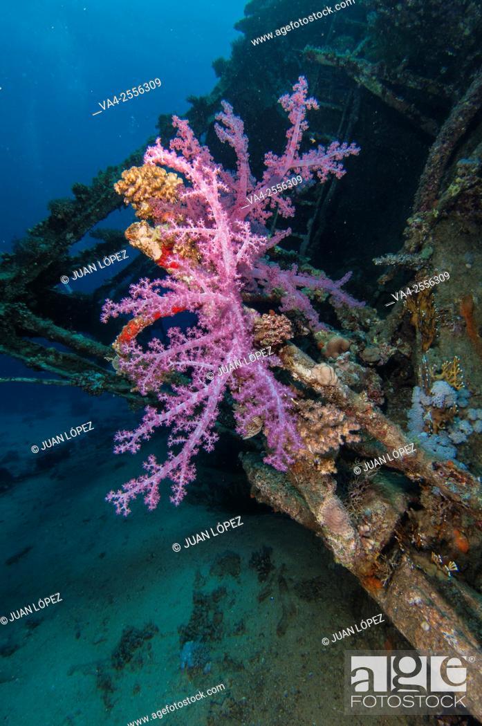 Stock Photo: Soft Coral Alcyonium. Red Sea, Sharm el-Sheikh, Egypt.