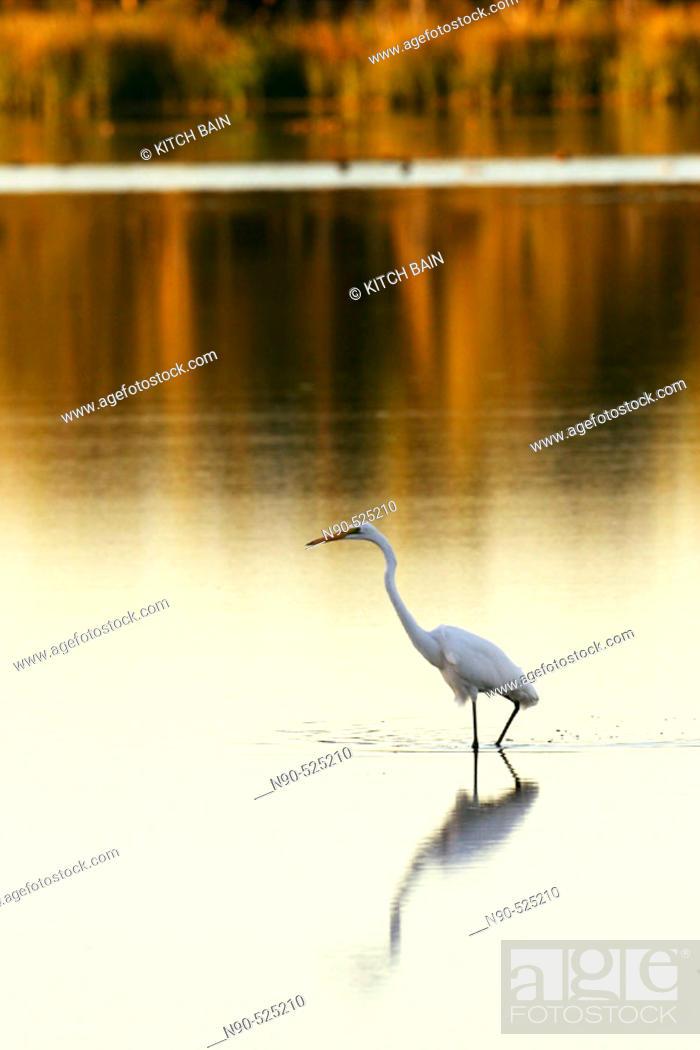 Stock Photo: Great white egret.