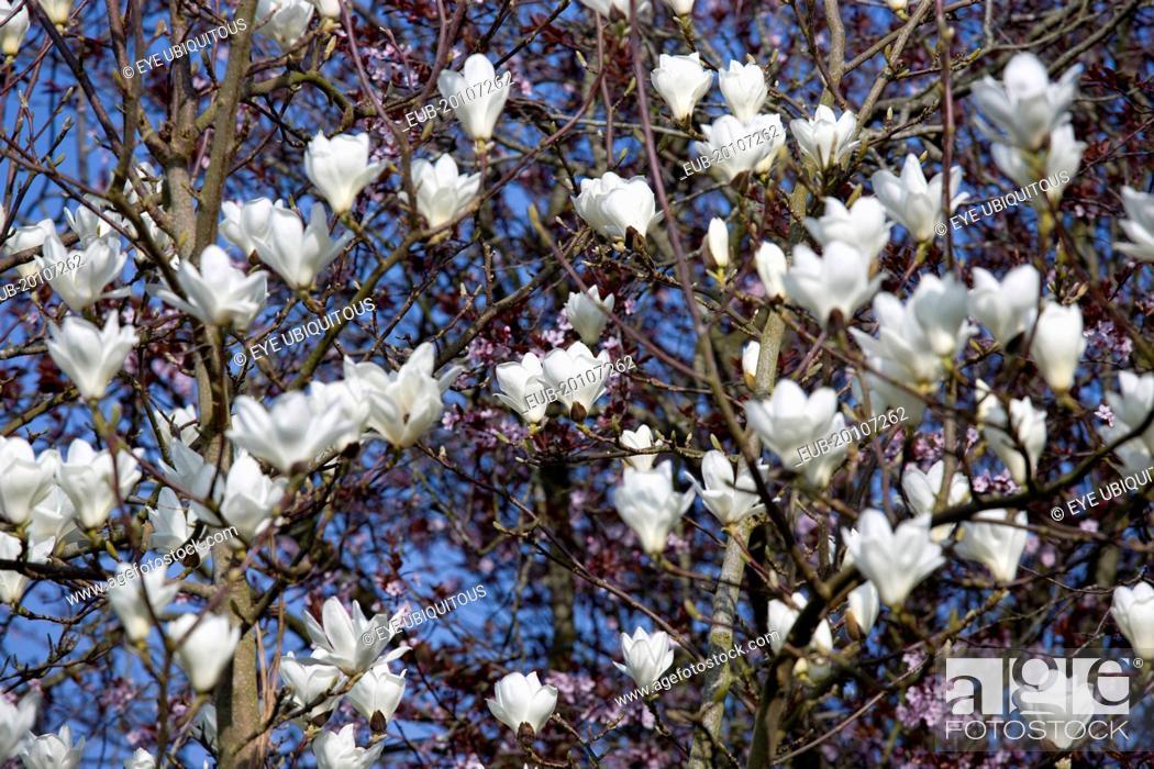 Magnolia soulangeana alba superba abundant white flowers on branches stock photo magnolia soulangeana alba superba abundant white flowers on branches of a magnolia tree mightylinksfo