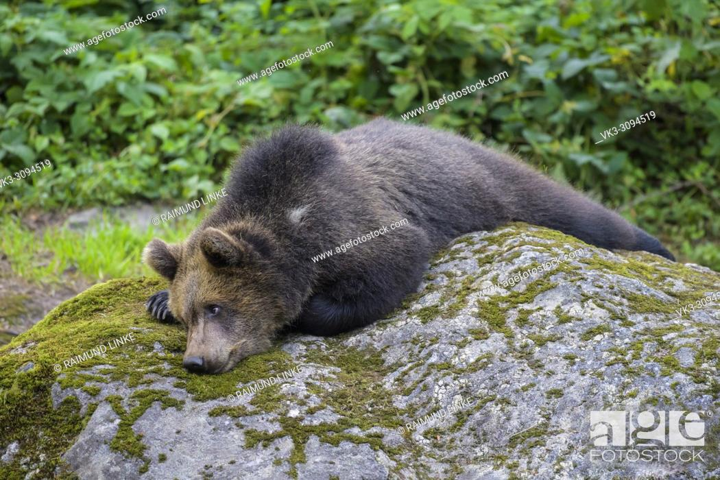Stock Photo: European Brown Bears, Ursus arctos, Cub lying on rock, Bavaria, Germany.