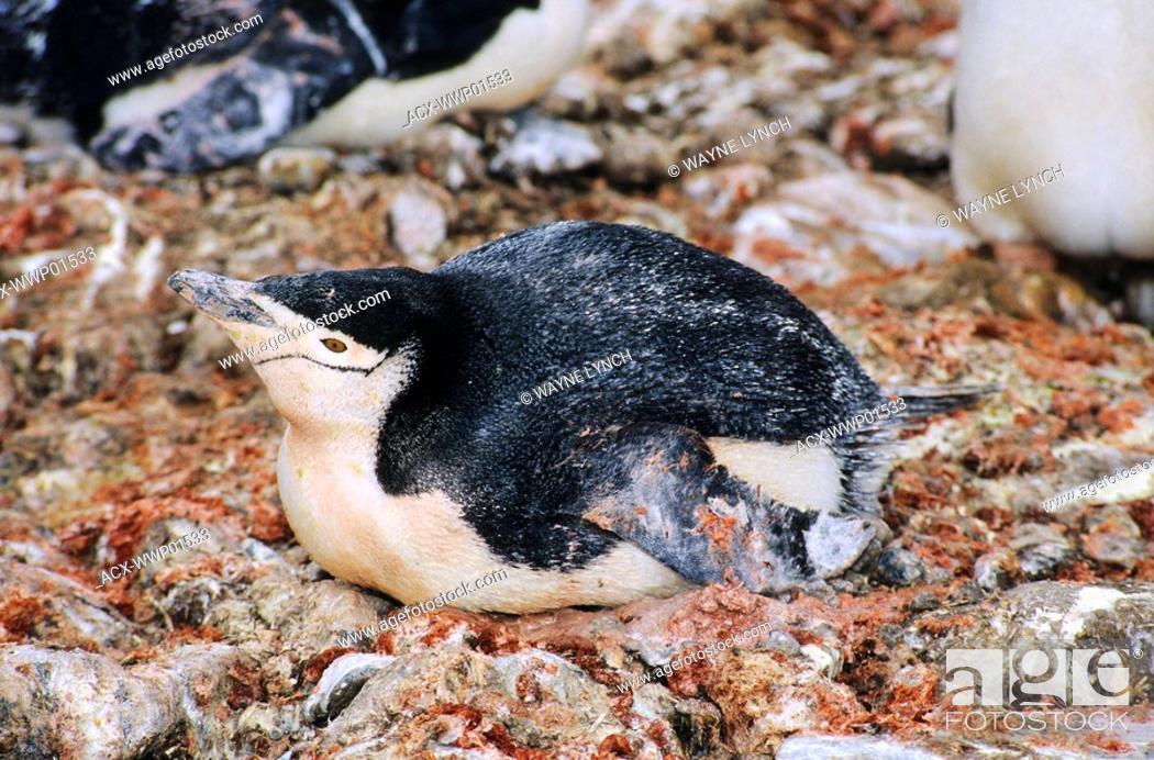 Stock Photo: Incubating guano-soiled chinstrap penguin Pygoscelis antarctica, Antarctic Peninsula.