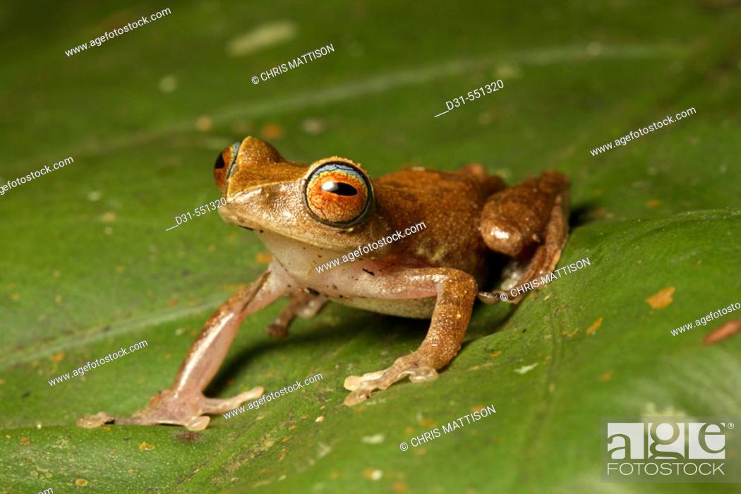 Stock Photo: Masked Tree Frog, Rhacophorus angulirostris. Mount Kinabalu National Park, Sabah, Borneo.