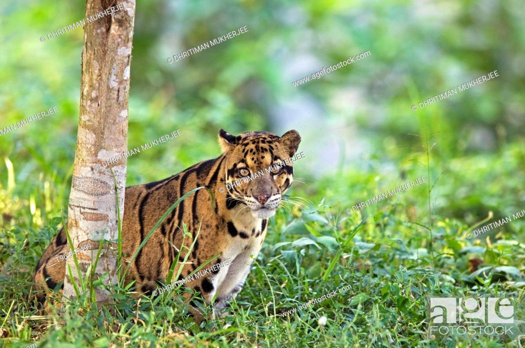 Stock Photo: Clouded Leopard in Captive Situation India.