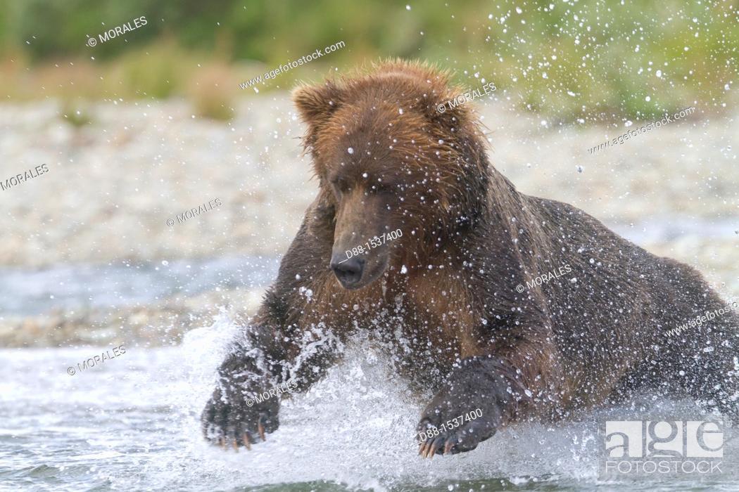 Stock Photo: Alaska , Katmai National Park and Preserve , Grizzly bear  Ursus arctos horribilis  , order : carnivora ,family : ursidae ,.