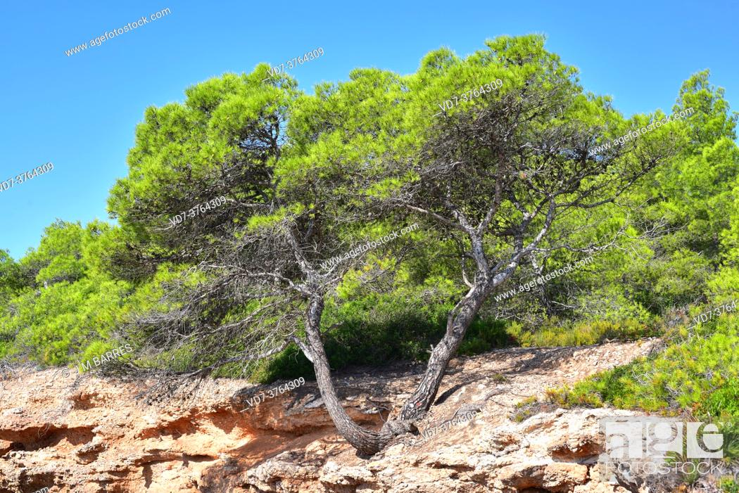 Stock Photo: Aleppo pine (Pinus halepensis) is an evergreen coniferous tree native to Mediterranean basin, specially in eastern Spain.