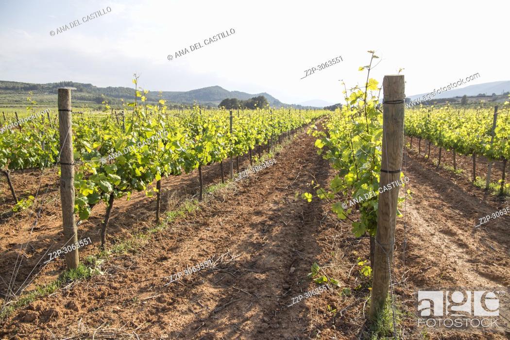 Imagen: Spring vineyards Fontanars dels Alforins. Valencian community. Spain.