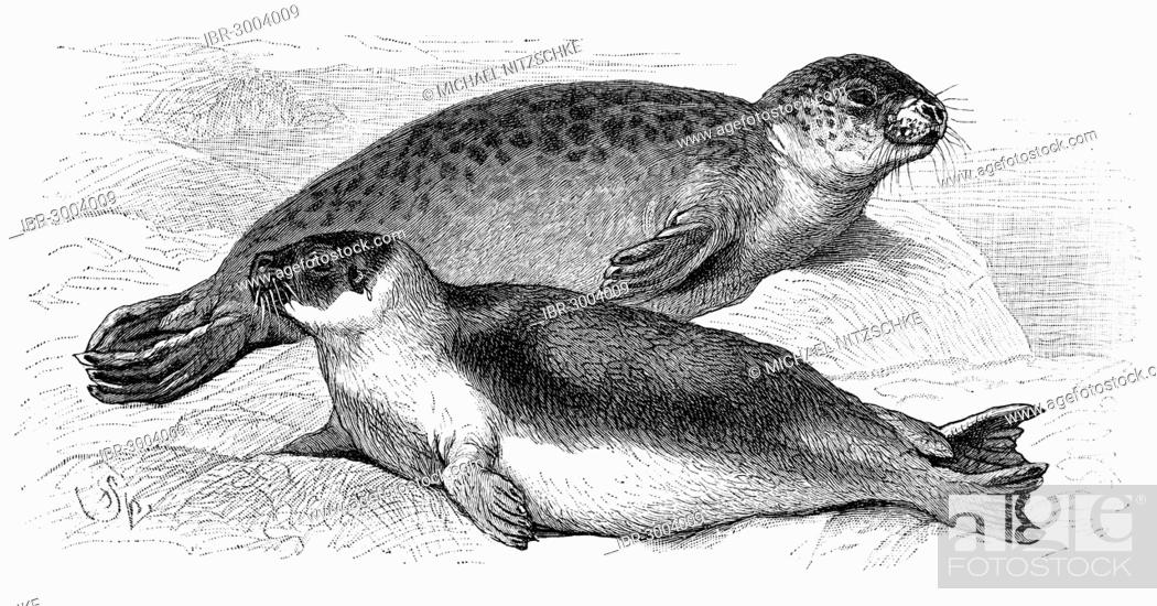 Stock Photo: A Harbor Seal (Phoca vitulina), at the top, and a Harp Seal (Phoca groenlandica), below, an illustration from Meyers Konversationslexikon encyclopedia, 1897.