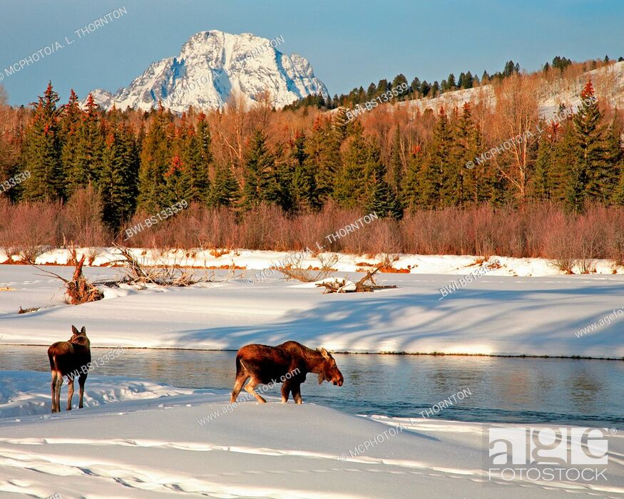 Stock Photo: moose, elk (Alces alces), two elks at river, USA, Grand Teton NP.