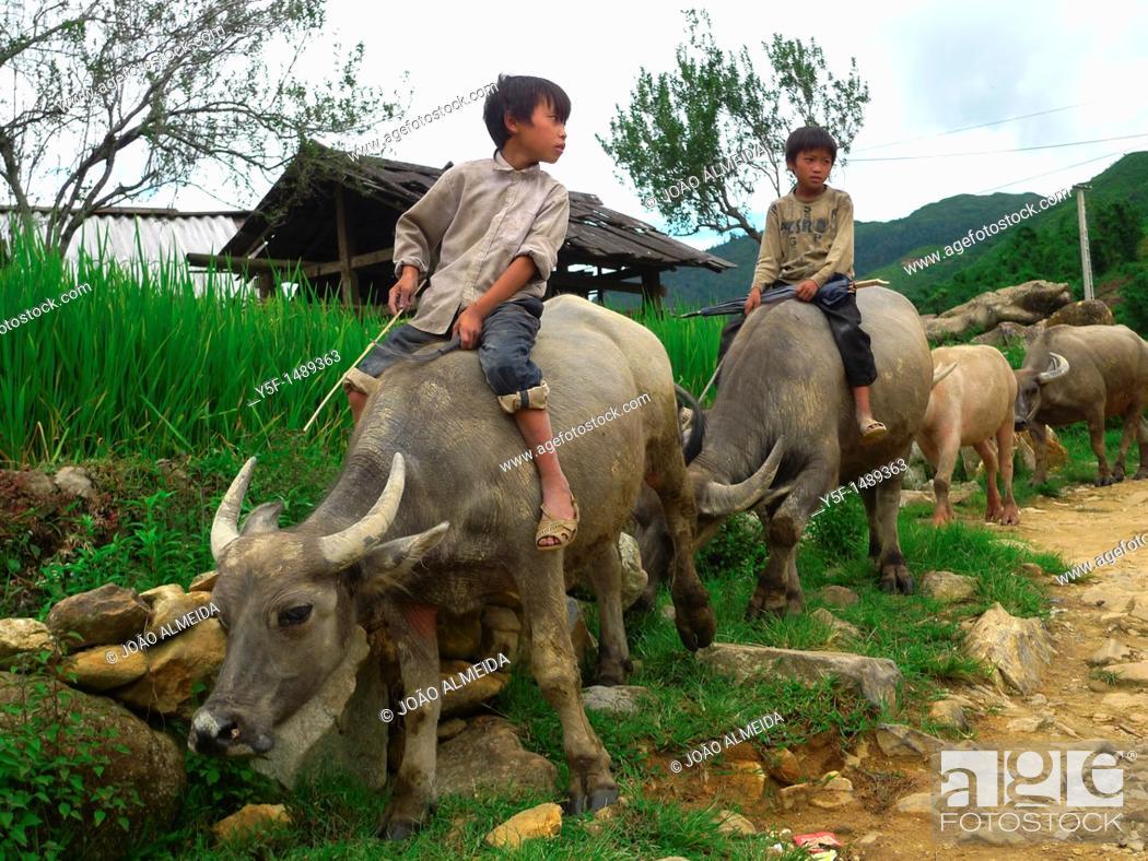 Stock Photo: Children riding water bufallos at nortthern Vietnam countryside.
