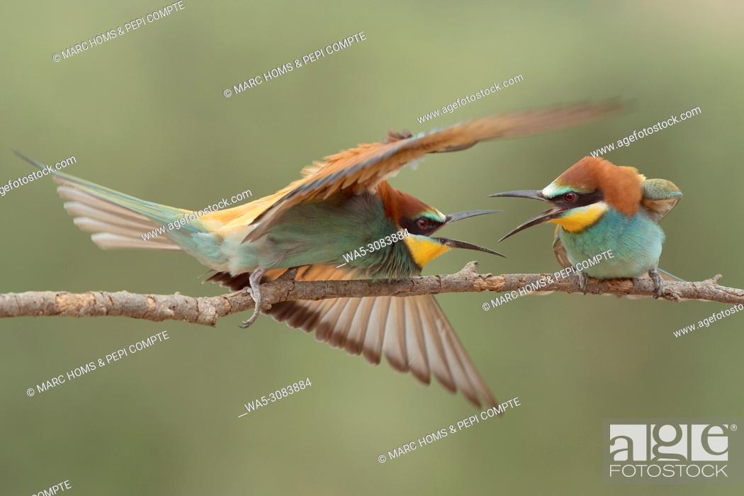 Imagen: European Bee Eaters fighting posed on a trunk in Garrotxa, catalonia, Spain.