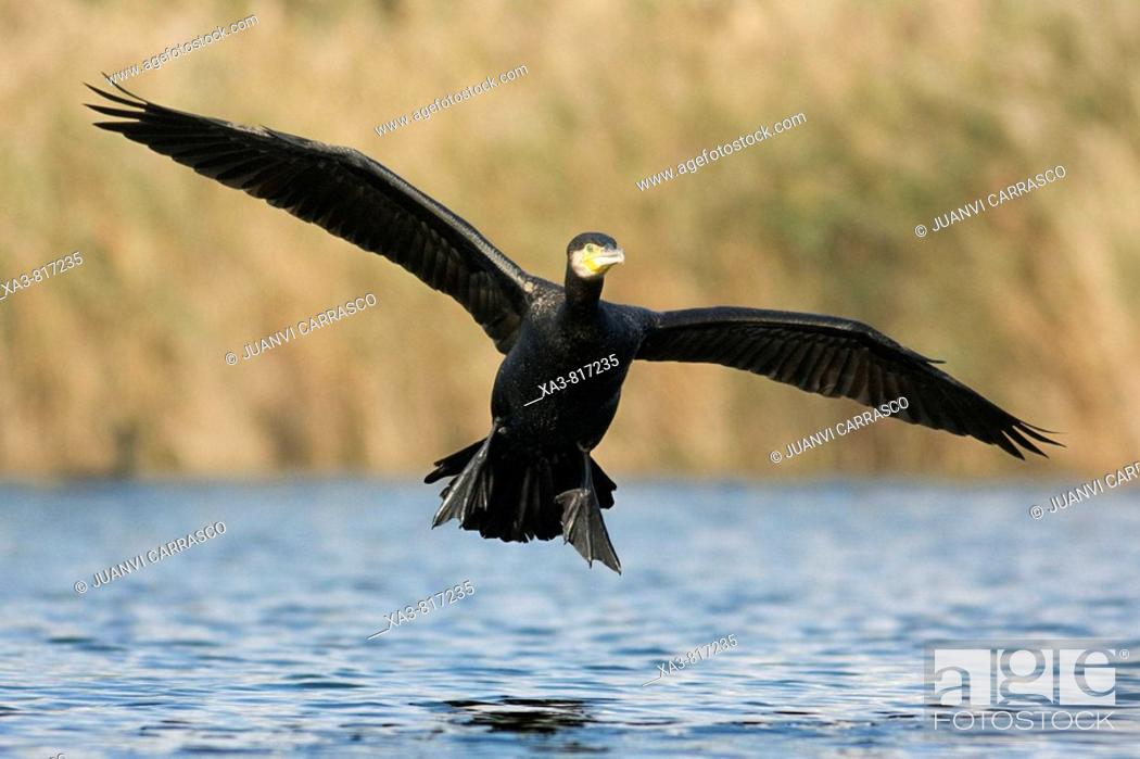 Stock Photo: Great cormorant , Phalacrocorax carbo , landing on lagoon.