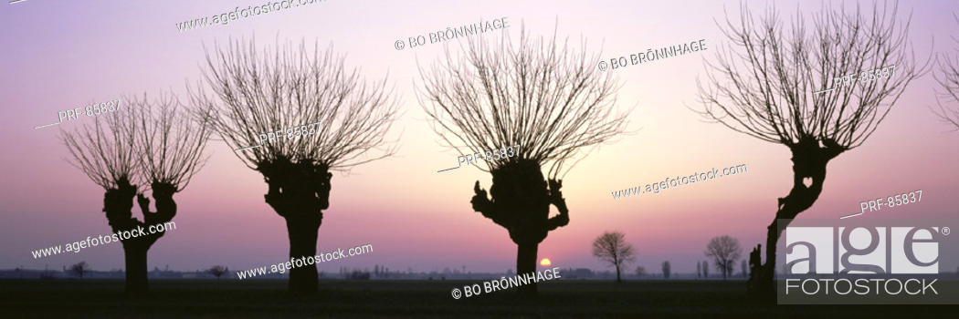 Stock Photo: Barren Willows at Sunset Italy.