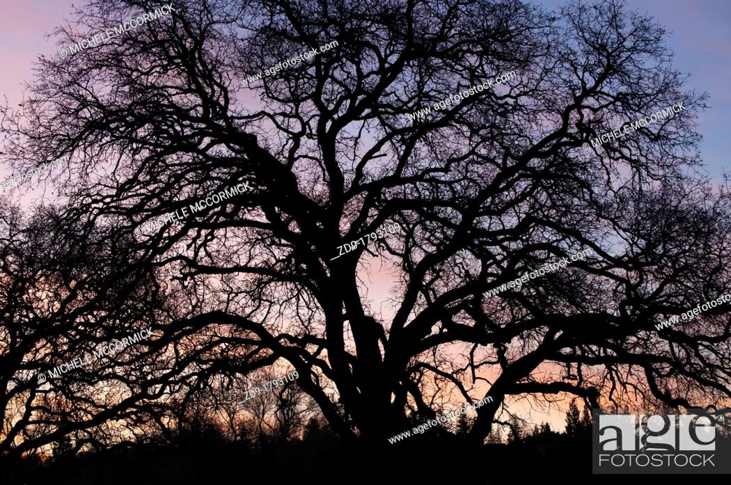 Stock Photo: A bare-branched winter oak is silhouetted against the dawn sky.