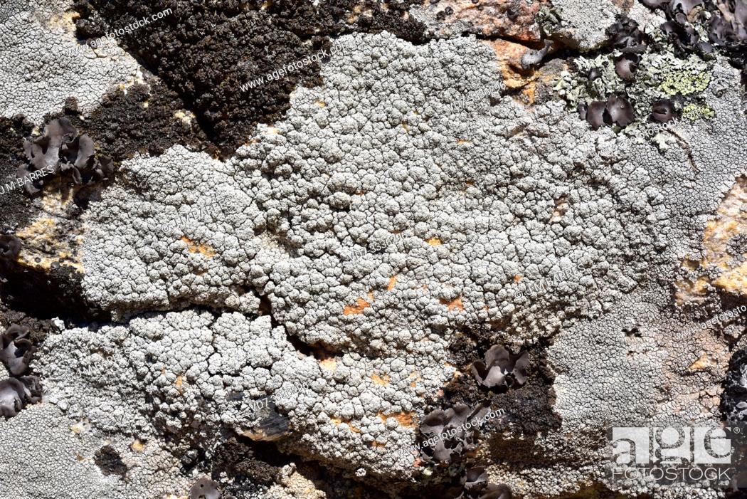 Imagen: Pertusaria amara is a crustose lichen with soralia. This photo was taken in La Albera, Girona province, Catalonia, Spain.