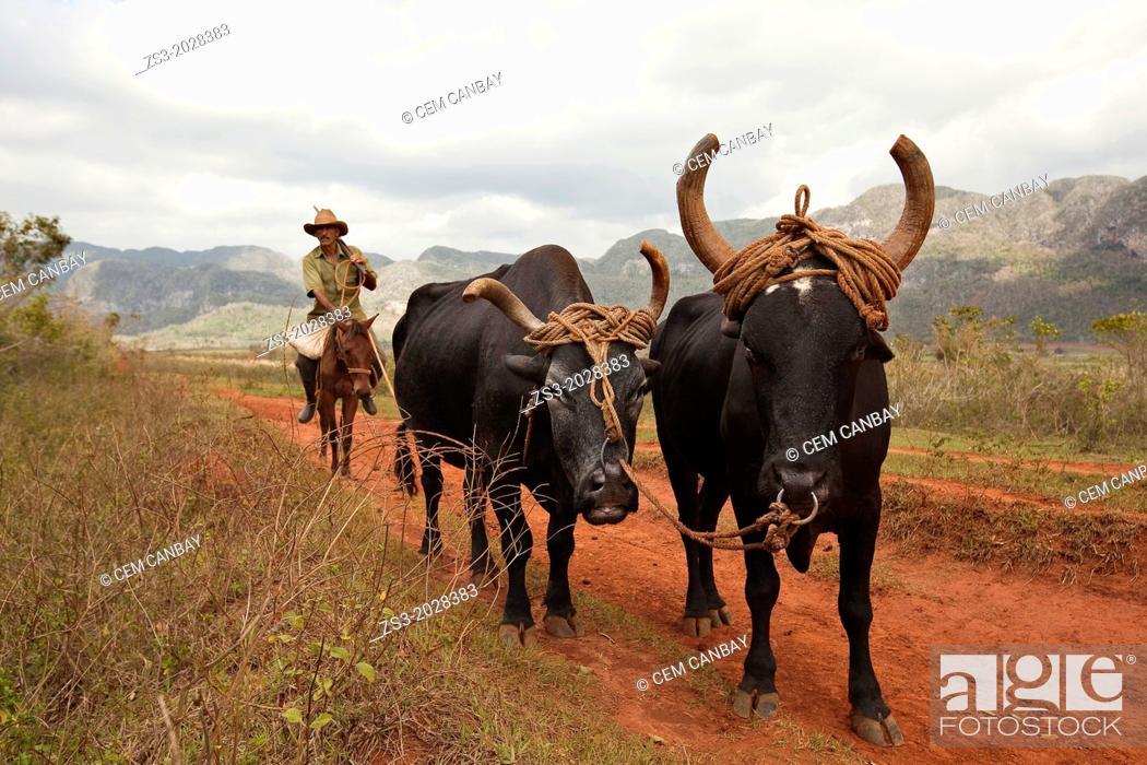Stock Photo: Farmer with oxes in the Vinales Valley, Vinales, Pinar del Rio, Cuba.