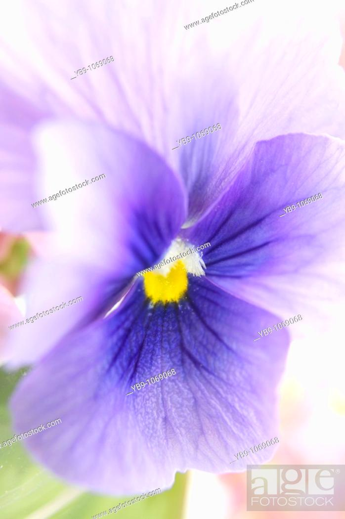 Stock Photo: Close up of pansy or Viola.