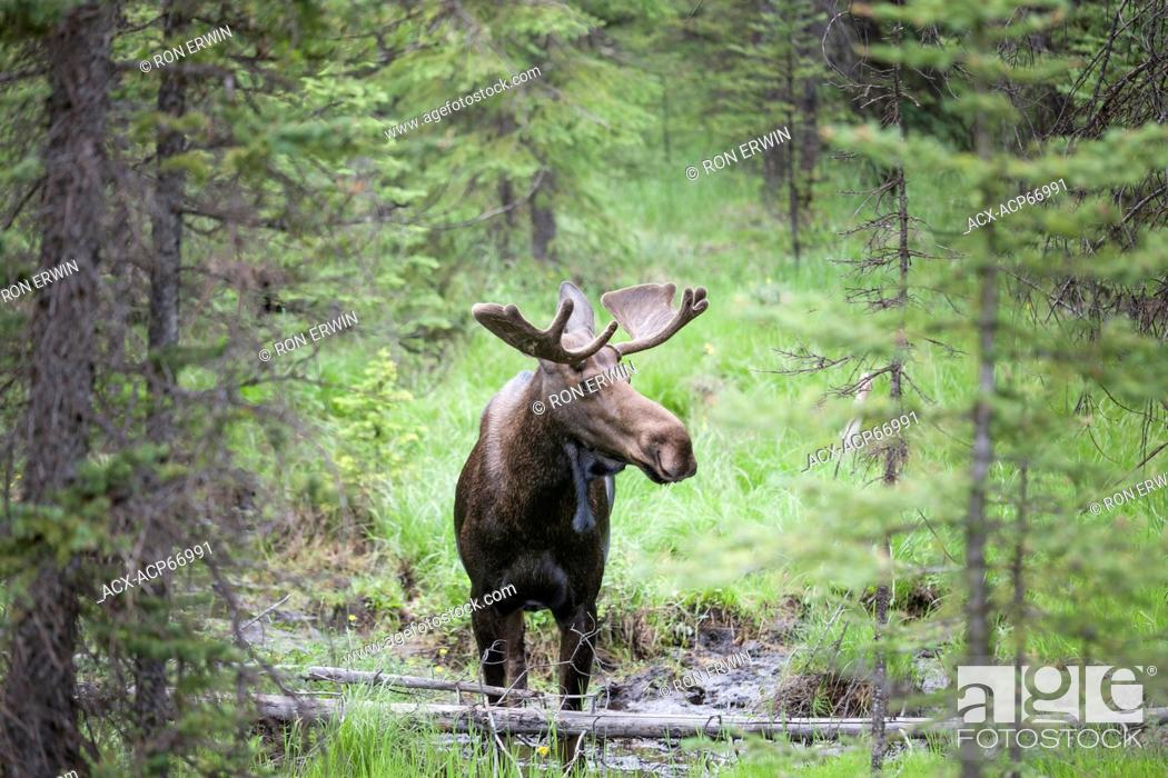 Stock Photo: Bull Moose (Alces alces) with velvet antlers in Peter Lougheed Provincial Park, Alberta, Canada.
