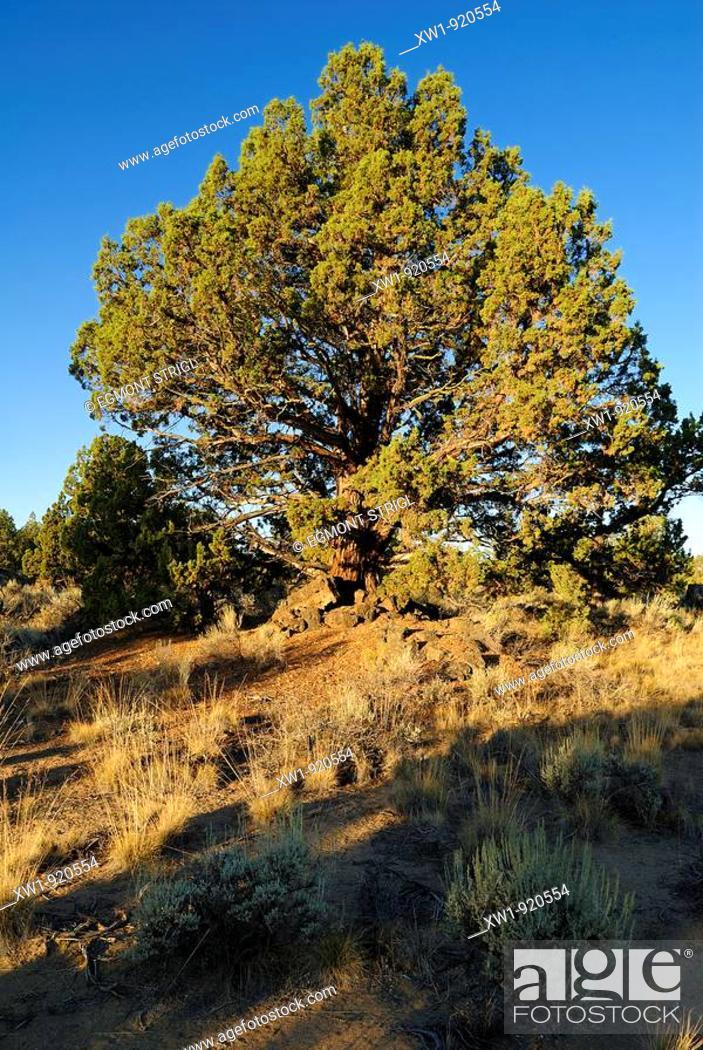Imagen: Juniper. Oregon. USA.